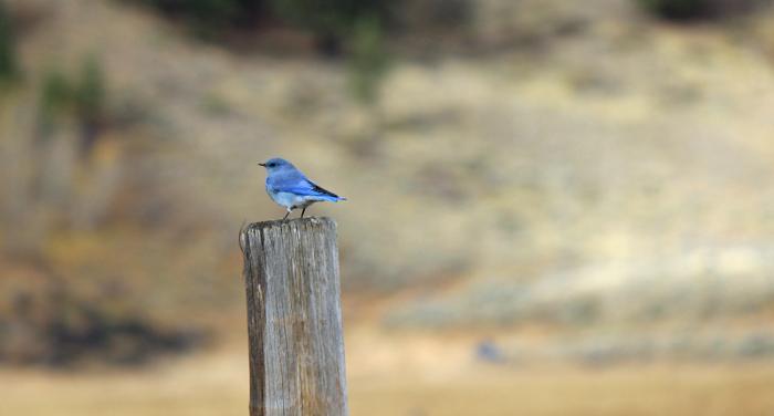 ציפור כחולה. טיטון.