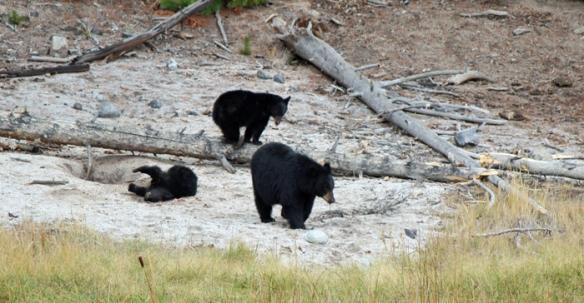 דובה ושני גורים ירדו לשתות בנחל ולשחק. ילוסטון.